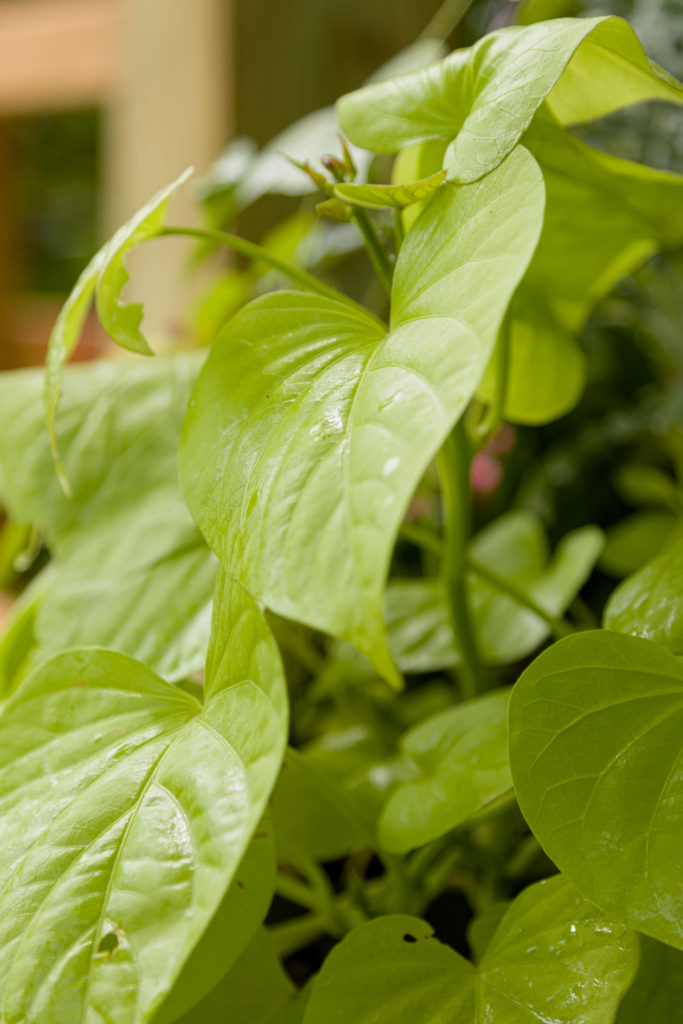 Sweet Potato Vine, sunny hanging basket, easy how to guide