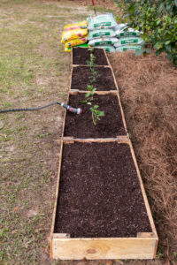 Watering the transplanted vegetables and seeds
