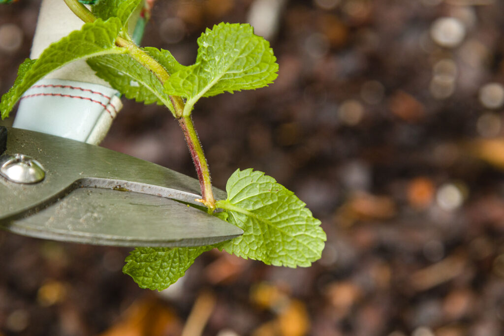 Remove lower leaves from mint stem