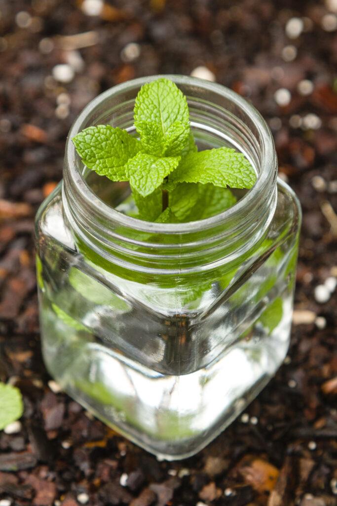 Mint in glass jar