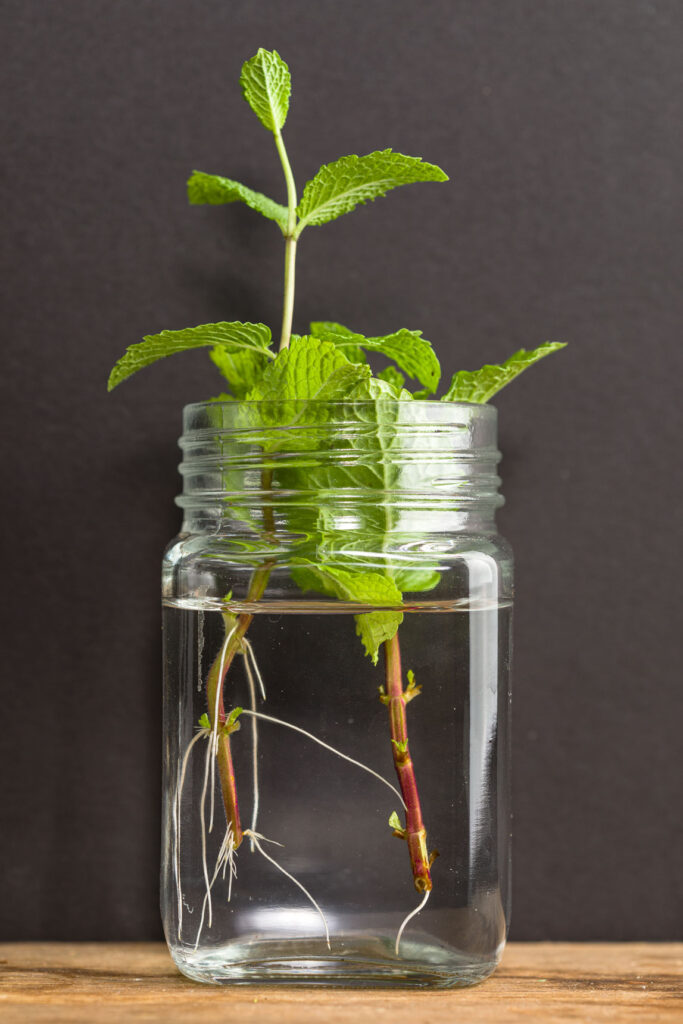 Growing mint from cuttings